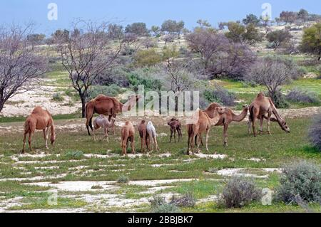 Camel herd in the Negev during spring time, Israel - Stock Photo
