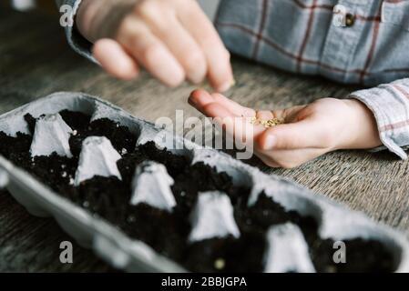 Five year old boy starting jalapeño seedlings.