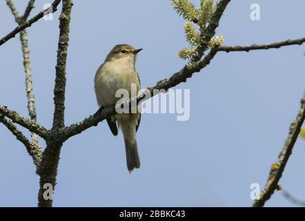 A Chiffchaff, Phylloscopus collybita, perching on a branch of a willow tree in spring. - Stock Photo