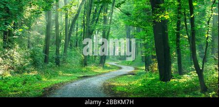 Panorama, hiking trail winds through light-flooded forest, sun shines through morning mist, deciduous forest, Ziegelroda forest, near Allstedt - Stock Photo