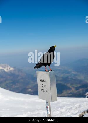 Alpine Chough (Pyrrhocorax graculus) on the summit mark of the Hohe Goell, in winter, Berchtesgaden Alps, Berchtesgaden National Park - Stock Photo