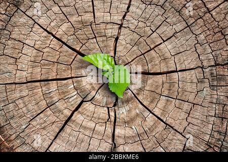 A new life start with the sprout of green leaves on a dead trees stump. Recovery of the Nature
