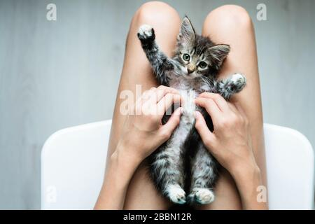 Cute little kitten lying in its owner's lap enjoying and purring - Stock Photo