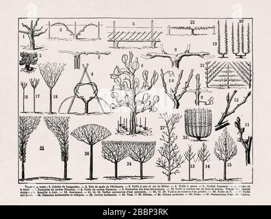 Old illustration about the Grape vine training methods printed in the late 19th century. - Stock Photo