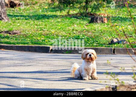 Shitsu dog is sitting in a city park on the sidewalk on a sunny spring day. - Stock Photo