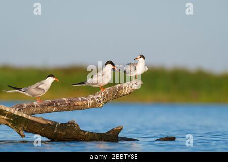 Common Tern (Sterna hirundo), two adults and juvenile perched on branch. Nemunas Delta. Lithuania. - Stock Photo