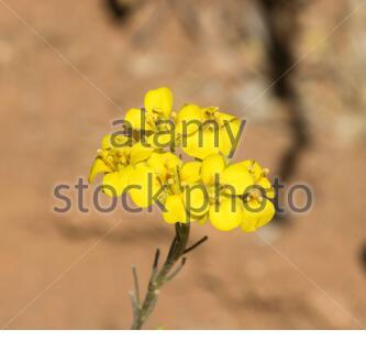 Gordon's Bladderpod, Physaria gordonii, Lesquerella gordonii, Gordons Bladderpod, Gordon Bladderpod, bladderpods, in New Mexico, USA - Stock Photo