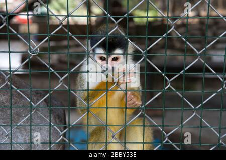 Central American squirrel monkey (Saimiri oerstedii) in a cage in western Panama