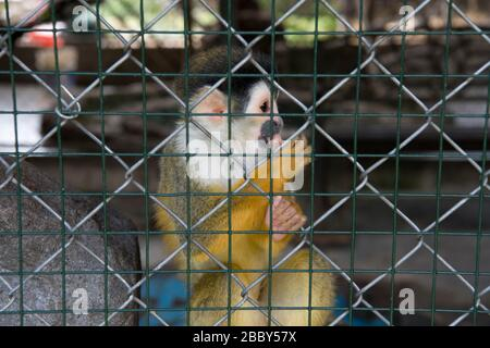 Central American squirrel monkey (Saimir oerstedii) in a cage in western Panama