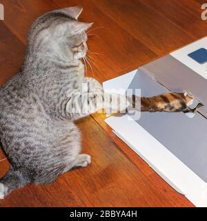 A gray kittenand a bengal cat's foot out of a box. - Stock Photo