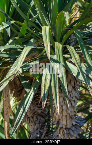 Green evergreen leaves of Yucca gloriosa, nature texture, Sharp leaves, green plant