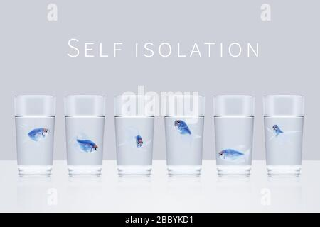 Six blue aquarium fishes in separate glasses with water on a gray background with the words self isolation. Quarantine, isolation, social distance con - Stock Photo