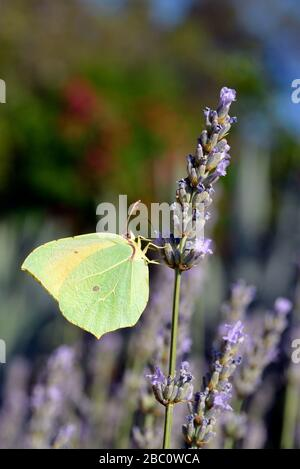 Macro of male Cleopatra butterfly (Gonepteryx cleopatra) feeding on lavender flower viewed of profile - Stock Photo