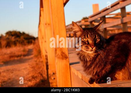 wild cat spotted at Ponta da Piedade (Lagos) during golden hour - Stock Photo