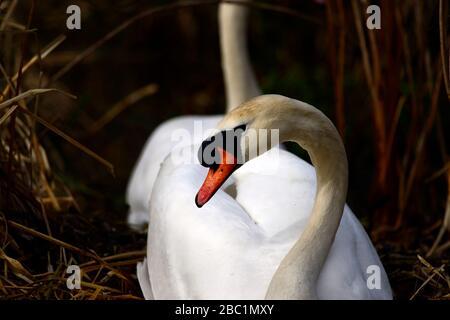 Edinburgh wildlife Mute Swans nesting at Inverleith park Stock Photo