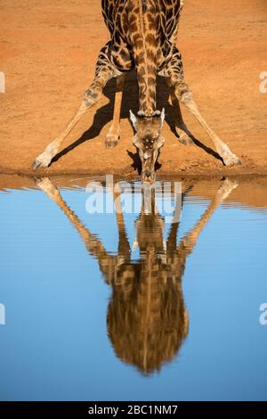 A vertical portrait of a drinking giraffe, taken at sunset in the Madikwe Game Reserve, South Africa. The deep blue sky is beautifully reflected in th - Stock Photo