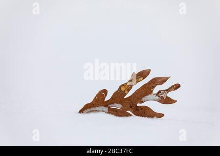 White Oak, Quercus alba, leaf in winter, blown down from the tree onto snow, Canadian Lakes, Michigan, USA - Stock Photo