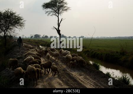 A shephered with his flock of sheep passing through fields of wheat in Kasur district of Punjab, Pakistan.