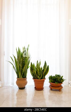 Three beautiful Sanseveria plants in a minimal white interior,in front of of bright window with curtain - Stock Photo