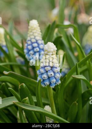 A close up of a white fading to blue flower spike of the grape hyacinth Muscari armeniacum 'Mountain Lady'