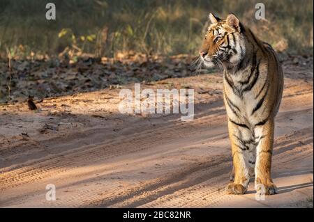 India, Madhya Pradesh, Bandhavgarh National Park. Young female Bengal tiger (WILD: Panthera tigris) endangered species.