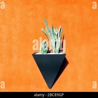 Sansevieria trifasciata plant in a black triangle pot fixed on an orange wall. - Stock Photo