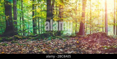 Golden autumn scene in a forest. Evening bright sun rays coming through the tree yellow leaves. Roots covered by the moss. - Stock Photo