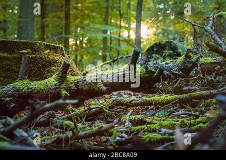 Fallen tree covered by moss in a sun rays flares. Autumn forest. - Stock Photo