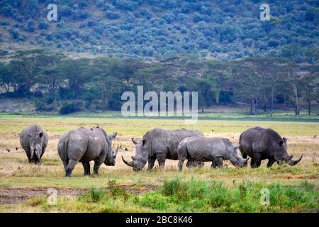 White rhinoceros (Ceratotherium simum). Group of white rhinos, Lake Nakuru National Park, Kenya, Africa - Stock Photo