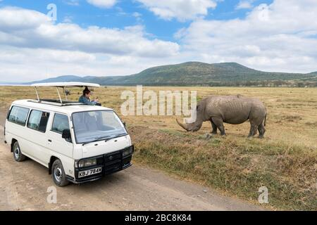 Tourist in a safari van taking photographs of a white rhinoceros (Ceratotherium simum), Lake Nakuru National Park, Kenya, Africa - Stock Photo