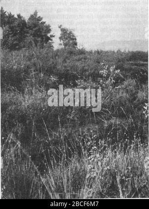 'Slovenščina: Pokrajina v bližini Grmeza. Tla so poraščena s mnogovrstnimi šaši (Carex), kljunko (Rhynchospora alba), bico (Schoenoplectus coronatus) in mnogimi dru- gimi rastlinami, ki raslo zgolj na barju. Grmovje v ozadju je večinoma krhljivka (Rhamnus frangula).; 1943; This image is available from the Digital Library of Slovenia under the reference number NZODPTIE  This tag does not indicate the copyright status of the attached work. A normal copyright tag is still required. See Commons:Licensing for more information. Deutsch  English  español  italiano  македонски  polski  português - Stock Photo