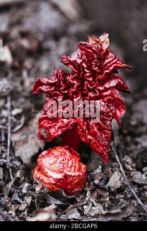 Rhubarb sprouts with red leaves growing in the ground in spring. Fresh natural root. - Stock Photo