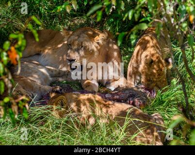 Lion (Panthera leo). Lioness and her cubs feeding on a giraffe, Masai Mara National Reserve, Kenya, Africa - Stock Photo