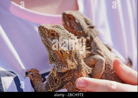 two bearded dragons on a t-shirt of a girl held by a hand in the sunshine - Stock Photo