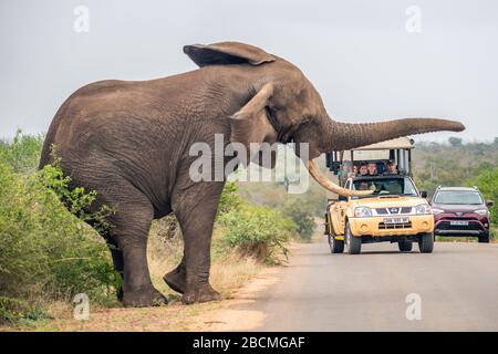 Big African elephant scaring off tourists in a car in the savanna on a paved road in Kruger National Park. - Stock Photo