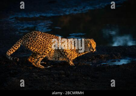 Wild Cheetah in South Africa - Stock Photo