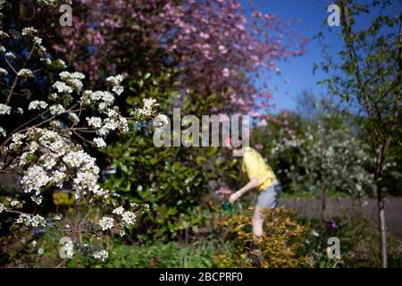 Clapham, London, UK. 5th Apr 2020.  takes advantage of the sunny weather to do some gardening during the coronavirus lockdown. Credit: Anna Watson/Alamy Live News - Stock Photo