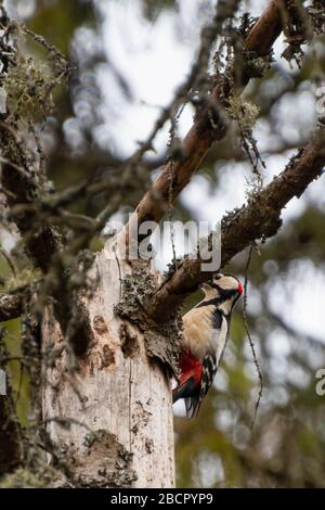 a middle spotted woodpecker sitting on a branch and hiding behind a branch in Bialowieza national park, Poland - Stock Photo