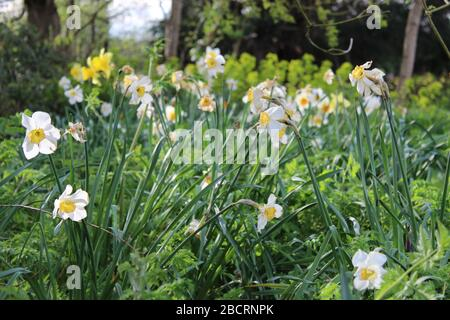 White narcissus growing in a garden in Worcestershire, UK - Stock Photo