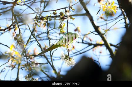 London, UK. 5th Apr, 2020. Green Ring-Necked (rose-ringed) Parakeets feed from a cherry tree in blossom in a Twickenham garden. Credit: Andrew Fosker/Alamy Live News - Stock Photo