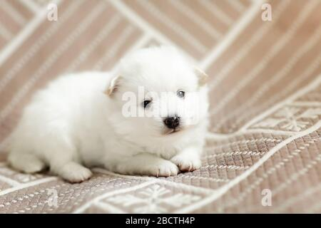 Cute adorable fluffy white spitz dog puppy. Best pet friend for kids - Stock Photo