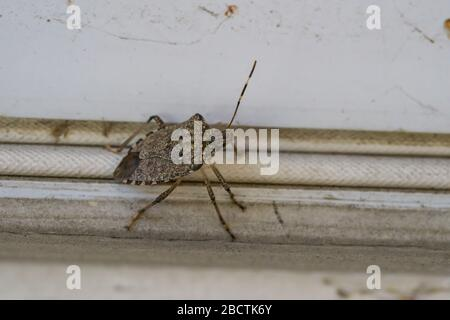 Brown Marmorated Stink Bug in Springtime - Stock Photo