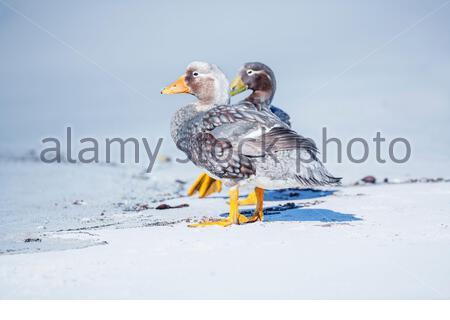 Steamer ducks (Tachyeres brachypterus), Falkland Islands, South America - Stock Photo