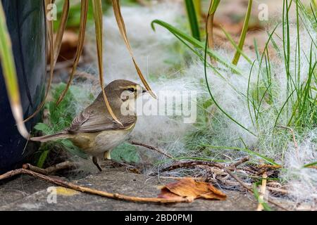 Common garden bird the Chiffchaff collecting nest material. - Stock Photo
