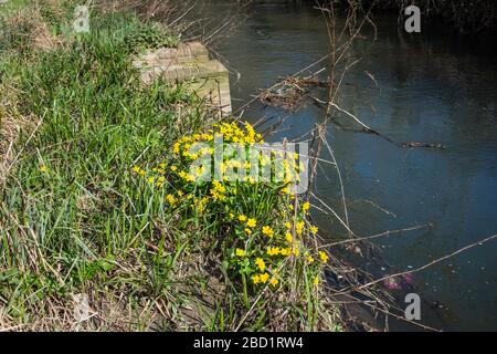 A clump of marsh marigold or king cup Caltha palustris growing on the edge of the river biss in Trowbridge Wiltshire - Stock Photo