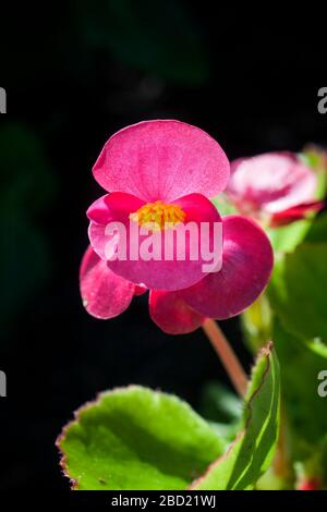 Red Wax Begonia plant, Begonia semperflorens, red single flower in black background. - Stock Photo