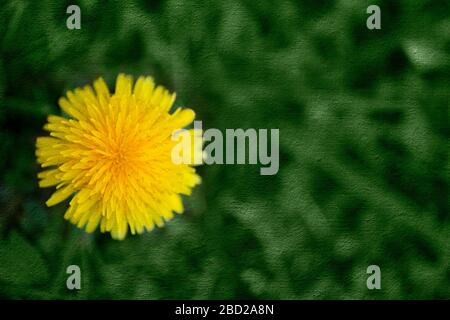 Horizontal shot of a yellow dandelion flower with a green canvas overlay background. - Stock Photo