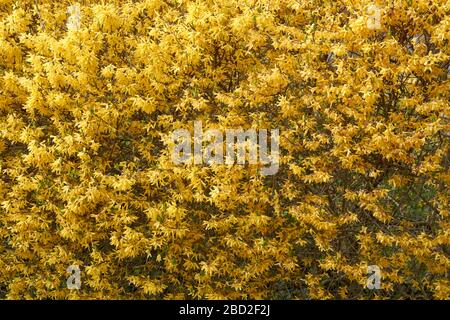Closeup of yellow flowering Forsythia x intermedia or Border Forsythia shrub in Vancouver, BC, Canada - Stock Photo
