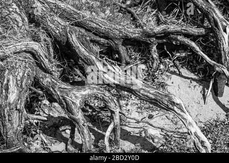 Black and white shot of roots at a local recreation area at the lake constance - Stock Photo