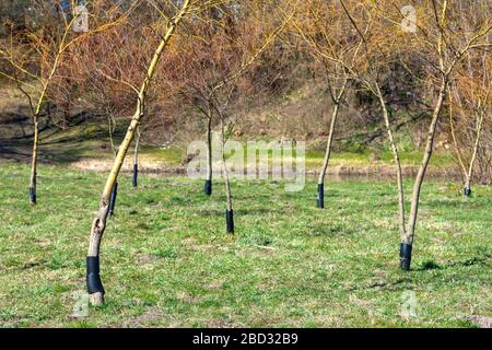Plastic fence so that beavers do not chew on mature trees. Experienced lumberjacks cannot get their teeth on them - Stock Photo
